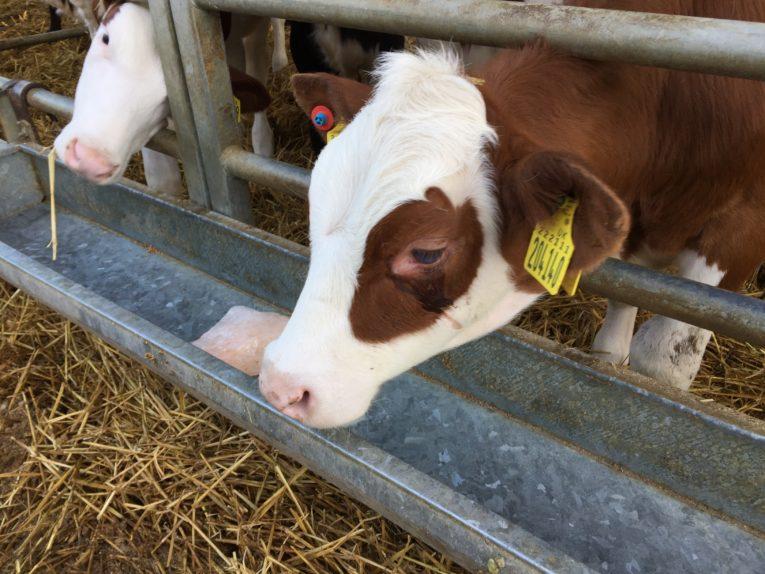 Fen Farm Calf Jonny Crickmore